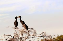 Family of double-crested cormorants in nest Royalty Free Stock Photos