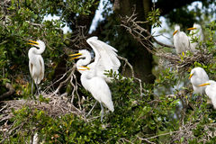 Family drama. Great egret dirds Royalty Free Stock Photo