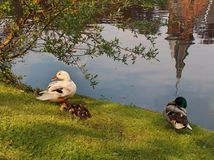 Family duck. Family of ducks in the riverside and reflects on the water royalty free stock photo