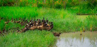 Family duck. Green water grass river canal nature pond masses group royalty free stock images