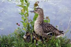 The family is a duck and its ducklings. Pond  and waterfowl. good mood. stock images