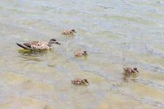 Family duck in Lapataia River, Tierra del Fuego National Park. Ushuaia, Argentina stock photos