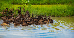 Family duck. Water river grass lake canal nature masses stock photos