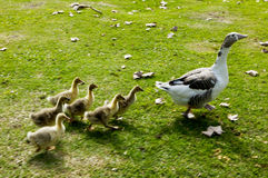 Family of ducks Stock Images