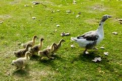 Family of ducks. Walking around, motion blur Stock Images