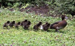 Family of ducks royalty free stock photography