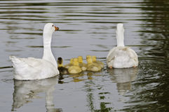 Family of ducks. This image shows a family of ducks with their young Stock Image