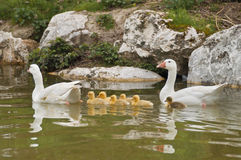 Family of ducks. This image shows a family of ducks with their young Royalty Free Stock Photo