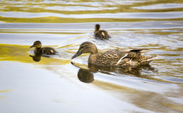Family of ducks. In water Stock Photo