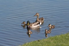 Family of Ducks. In the water Royalty Free Stock Photography