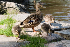 Family of ducks. A family of ducks with mom and three ducklings royalty free stock photo
