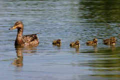 Family of Ducks. Adult duck leading baby ducks Royalty Free Stock Photography