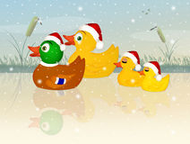Family of ducks at Christmas Stock Photography