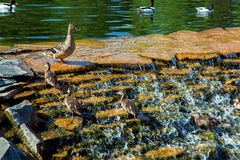 A family of ducks in a decorative waterfall. A family of ducks in a decorative waterfall cascade ducklings rise against the flow of water up to the mother duck royalty free stock photos