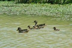 Family ducks Stock Photography