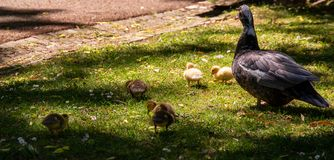 Family of ducks. A mother duck and six baby duck in a garden royalty free stock images