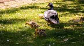 Family of ducks. A mother duck and six baby duck in a garden royalty free stock image