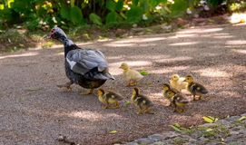 Family of ducks. A mother duck and six baby duck in a garden stock images