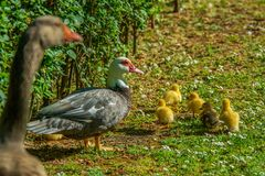 Family of ducks. A mother duck and six baby duck in a garden stock image