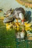 Family of ducks. A mother duck and six baby duck in a garden royalty free stock photo