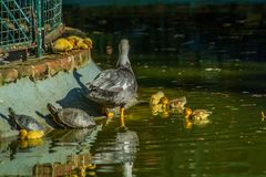 Family of ducks. A mother duck and six baby duck in a garden lake stock photography