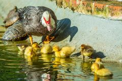 Family of ducks. A mother duck and six baby duck in a garden lake royalty free stock photography