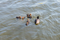 Family of ducks floating on a pond. The diving ducks, commonly called pochards or scaups. Family of ducks floating on a pond in the park royalty free stock photos