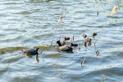 Family of ducks floating on a pond. The diving ducks, commonly called pochards or scaups. Family of ducks floating on a pond in the park stock photography