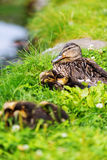 Family of ducks on grass Stock Photos
