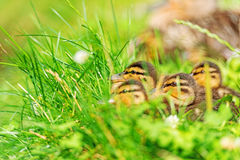 Family of ducks in grass Royalty Free Stock Photo