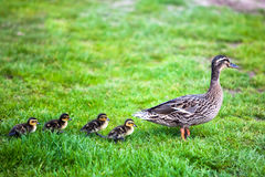 Family of ducks. Royalty Free Stock Photos