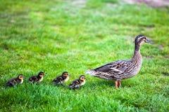 Family of ducks. Green grass Royalty Free Stock Photos