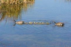 Family of ducks Stock Photos