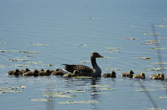 Family of ducks on the lake. Couple of ducks together with little ducks Royalty Free Stock Photos