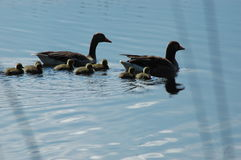 Family of ducks on the lake. Couple of ducks together with little ducks Stock Photography
