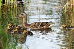 A family of ducks, mother duck. And ducklings swim in the water. A female duck which looks at its ducklings. Ducklings are all together included Stock Image