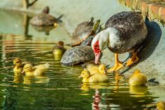 Family of ducks. A mother duck and six baby duck in a garden royalty free stock photography