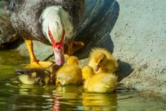 Family of ducks. A mother duck and six baby duck in a garden lake royalty free stock image
