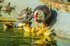 Family of ducks. A mother duck and six baby duck in a garden stock photos