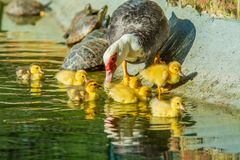 Family of ducks. A mother duck and six baby duck in a garden lake stock photo