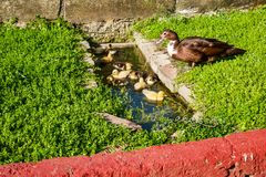 Duck Family. Family of Ducks, mother looking after the chicks bathing in a small pool stock photos