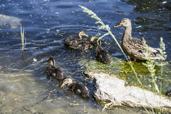 Family of ducks. Mum and her children Royalty Free Stock Images