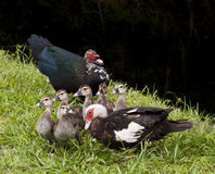 Family of Ducks Royalty Free Stock Image