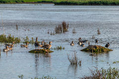 Family of ducks in nature reserve, washing, flying and swimming. Royalty Free Stock Photography