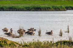 Family of ducks in nature reserve, washing, flying and swimming. Royalty Free Stock Photos