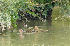 Family of ducks in nature reserve, washing, flying and swimming. Stock Photography