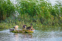 Family of ducks in nature reserve, washing, flying and swimming. Stock Photos