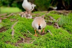 Family of ducks Stock Images