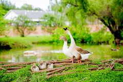 Family of ducks Royalty Free Stock Images