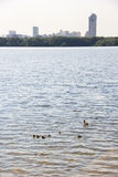 Family of ducks on pond in the city Royalty Free Stock Photos